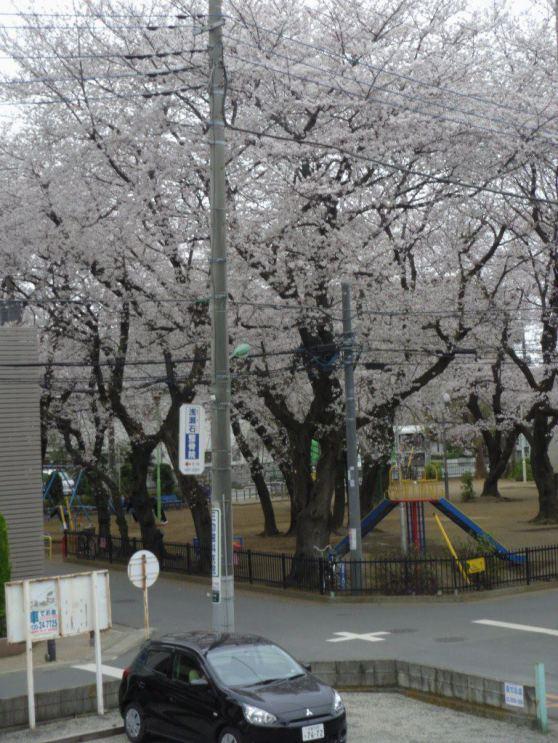 pemandangan setiap bangun tidur saat sakura sedang berbunga